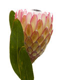 Pink protea flower Stock Image