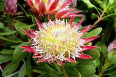 Pink protea plant. Stock Photography