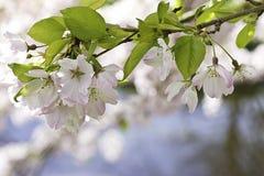 Pink prunus blossom branch Stock Image