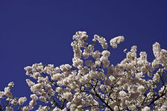 Pink prunus blossom branches Royalty Free Stock Image