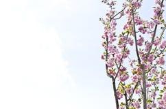 Pink Prunus Kanzan flowers Royalty Free Stock Photos