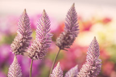 Pink ptilotus joey flowers Stock Photos