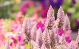 Pink ptilotus joey flowers Royalty Free Stock Photo