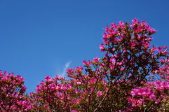 Pink flowers blue sky. Public garden during springtime in Ireland Stock Photography