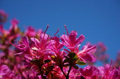 Pink flowers blue sky. Public garden during springtime in Ireland Stock Image