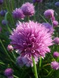 Pink puff ball. Wild growing pink flowers in the shape of spheres Royalty Free Stock Image