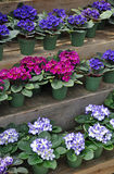Pink and purple african violets Royalty Free Stock Image