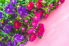 Pink and purple asters. Fresh blooming garden pink and purple asters Stock Photos
