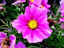 A pink/ purple beauty whit a yellow star like the sun in the middle stock photography