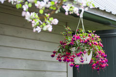 Pink and purple bleeding heart blossoms hanging from a flower pot stock photography