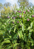 Pink and purple blooming common comfrey plants from close Stock Photo