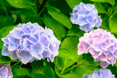 Pink and purple blossoming Hydrangea shrub Royalty Free Stock Photos