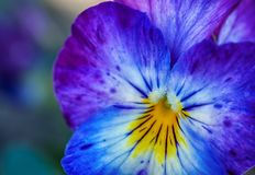 Pink, purple, blue and yellow flower Royalty Free Stock Photos