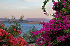 Pink and purple bougainvillea Stock Image