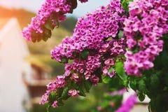 Pink purple bougainvillea flowers in blossom Stock Image