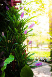 Pink purple bromeliad flower in bloom in springtime Stock Photos