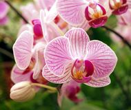 Pink and Purple Butterfly Orchids Stock Photo