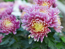 Pink-purple Chrysanthemum closeup Royalty Free Stock Photos