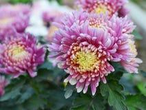 Pink-purple Chrysanthemum closeup royalty free stock photos