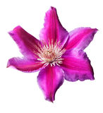 Pink and purple clematis isolated Stock Photography