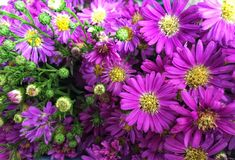 Pink and purple cutter flower/aster ericoides flower stock image