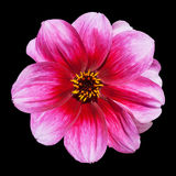 Pink Purple Dahlia Flower Isolated on Black Royalty Free Stock Image