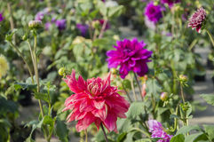 Pink and purple dahlia flowers Stock Image