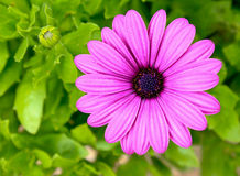 Pink and purple daisy flower against green foliage. Single pink and purple daisy flower against green foliage Royalty Free Stock Photos
