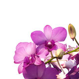 Pink purple dendrobium orchid Royalty Free Stock Photography