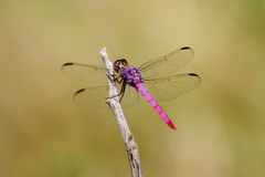 Pink and Purple Dragonfly Royalty Free Stock Photos