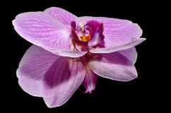 Pink and Purple Flower on a Black Reflective Surface Royalty Free Stock Photo