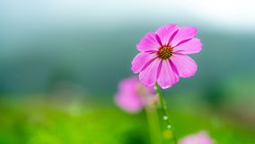 Pink Purple Flower Blossom Blurred Background royalty free stock images