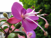 Pink purple flower fuchsia blooming Stock Photo