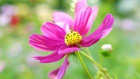 Pink purple flower with pollen Stock Photos