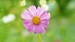 Pink purple flower with pollen Stock Photo
