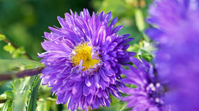 Pink purple flower with pollen Stock Images