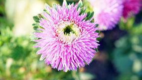Pink purple flower with pollen Royalty Free Stock Images