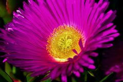 Pink or purple flower with yellow centre. A close up of a pink or purple flower with yellow centre Royalty Free Stock Photos