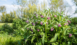 Pink and purple flowering common comfrey plants from close Stock Photos