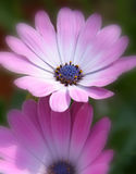 Pink/Purple flowers. Softened image of two flowers stock images