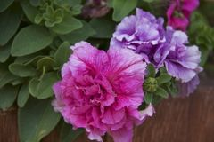 Pink and Purple Flowers Stock Photo