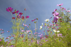 Pink and purple flowers blooming along interstate highway in SC Royalty Free Stock Images