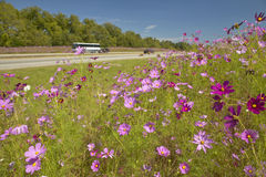 Pink and purple Flowers blooming along interstate highway in SC with passing vehicles Royalty Free Stock Photos