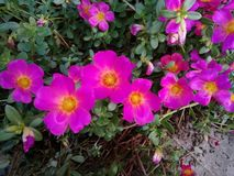 Pink purple flowers royalty free stock images