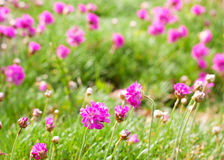 Pink, purple flowers in the green grass. Royalty Free Stock Image