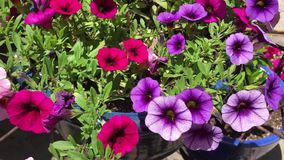 Pink and purple flowers stock video footage