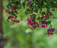 Pink and Purple Fuchsia Blossoms Stock Photography