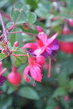 Pink and purple fuschia. Flowers Stock Photography