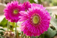 Pink purple gerbera flowering plants Stock Photography
