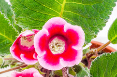 Pink-purple Gloxinia, Sinningia speciosa flower Royalty Free Stock Images